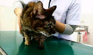 婆猫ミーちゃん診察台に乗る