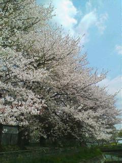 桜舞い散る見沼たんぼを歩く