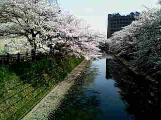 富山市…桜満開なれど風強し